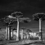 עצים עתיקים : דיוקנאות של זמן